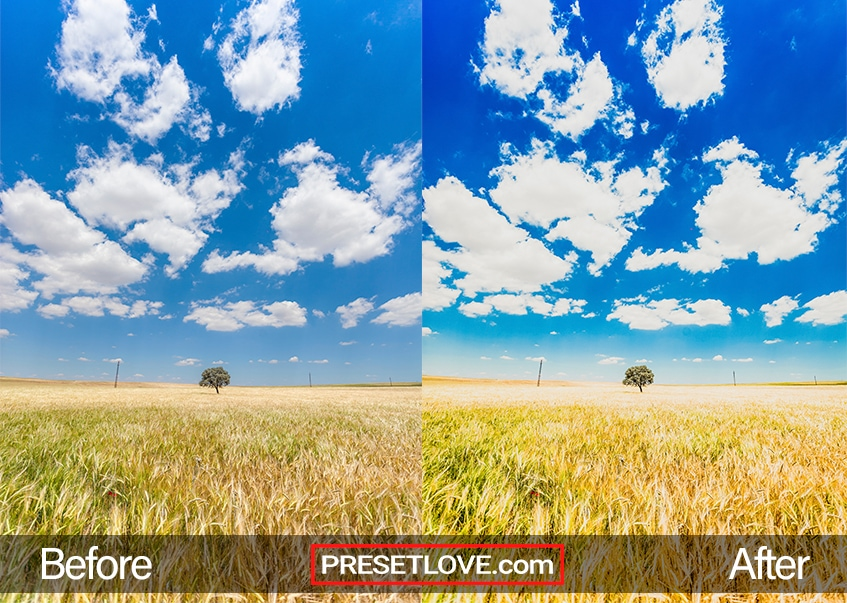 A tree in the middle of a golden field with vivid blue sky