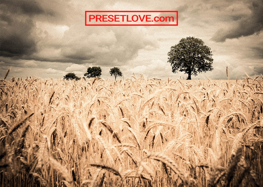 An artistic photo of a wheat field with few trees