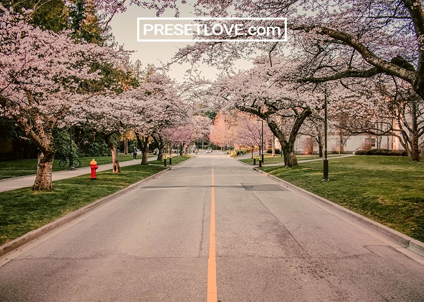 A warm photo of a street lined with flowering trees