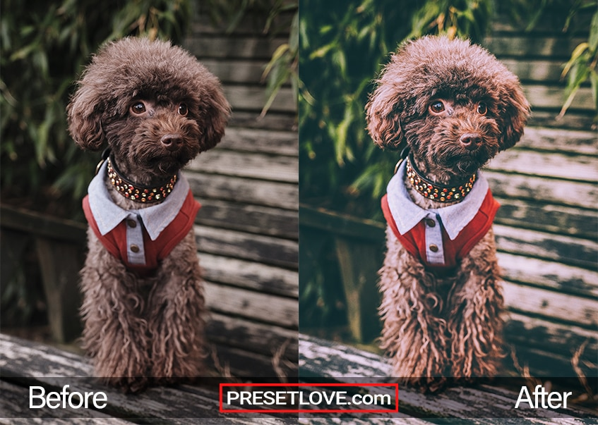 A matte film photo of a furry brown dog wearing a red-collared shirt