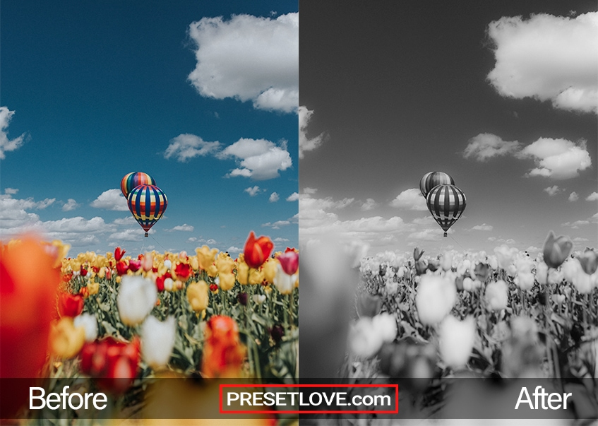 A smooth black and white photo of hot air balloons over a field of tulips