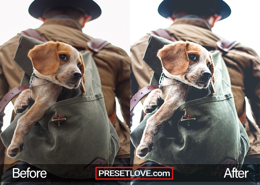 An outdoor shot of a beagle puppy in a backpack