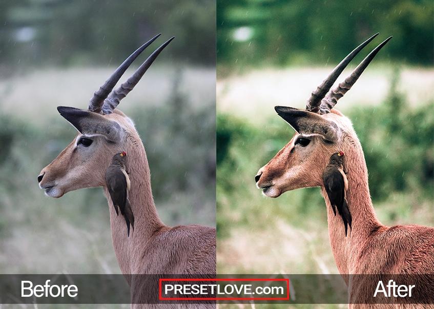 Wildlife Preset gazelle