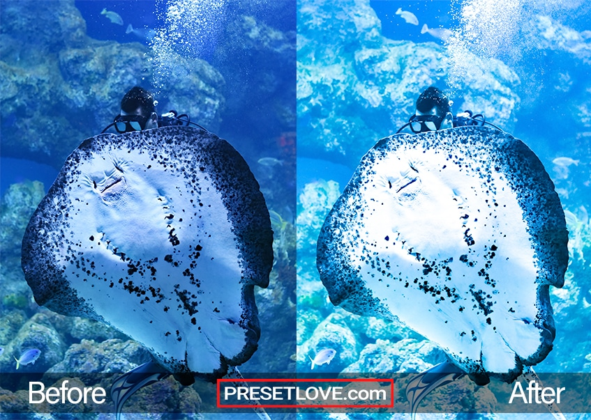 A vibrant blue photo of a diver behind a Manta Ray