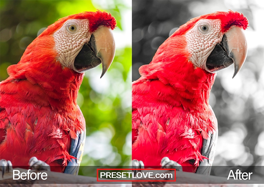 A photo of a scarlet Macaw parrot with a gray background