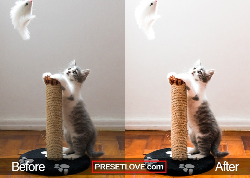 A bright and vibrant photo of a gray and white kitten playing with a feather toy